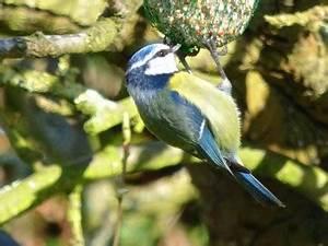 Oiseau Jaune Et Bleu : oiseau jaune et bleu archives quel est cet animal ~ Melissatoandfro.com Idées de Décoration