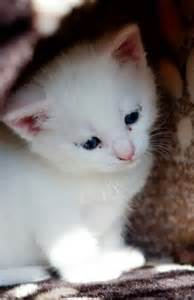 how much do cats cost how much does a turkish angora kitten cost many