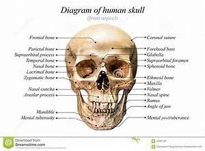 Tiger Teeth Skull Diagram