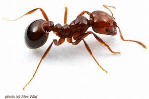 University Of Texas Red Imported Fire Ant Rifa  Solenopsis