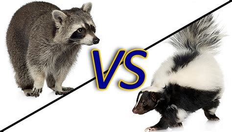 skunks  raccoons  battle  ucsb