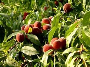 How to Prune a Peach Tree