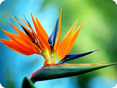 bird of paradise floralife bird of paradise
