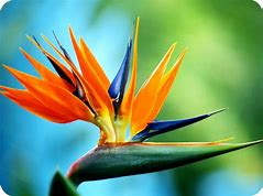 Image result for bird of paradise