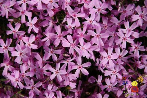 Phlox subulata 'Drummond's Pink' - Raunas stādi - Ziemcietes