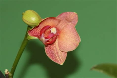 orchid 233 es culture en pot de verre page 2