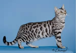 silver bengal cat show news the realms bengals