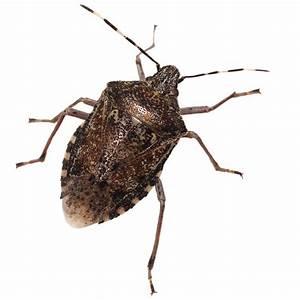 Stink Bug Pic