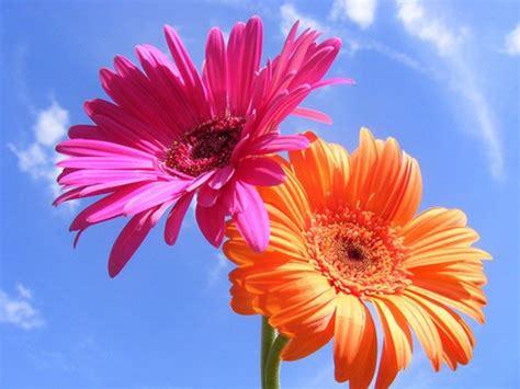 Blume Mit Vielen Schönen Farbvarianten