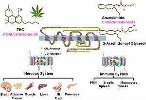The Cannabinoid System  There Are Two Cannabinoid