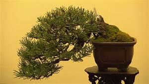 bonsai die grosse kunst der kleinen baume tirolorfat With whirlpool garten mit pflege von bonsai bäumchen