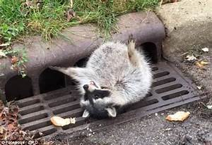 Raccoon so fat it had to be rescued after getting stuck ...
