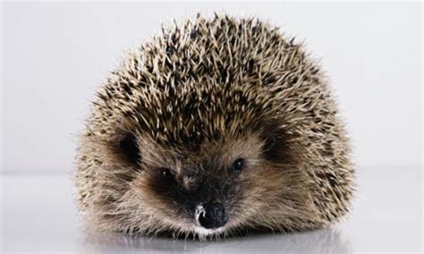 What Heat L To Use For Hedgehogs by Hedgehogs Recipegreat