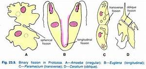 Essay on Protozoa | Zoology