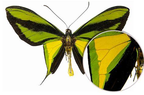 kupu kupu sayap burung surga serangga cendrawasih  timur greenersco