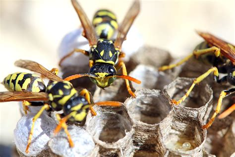 hornets  wasps