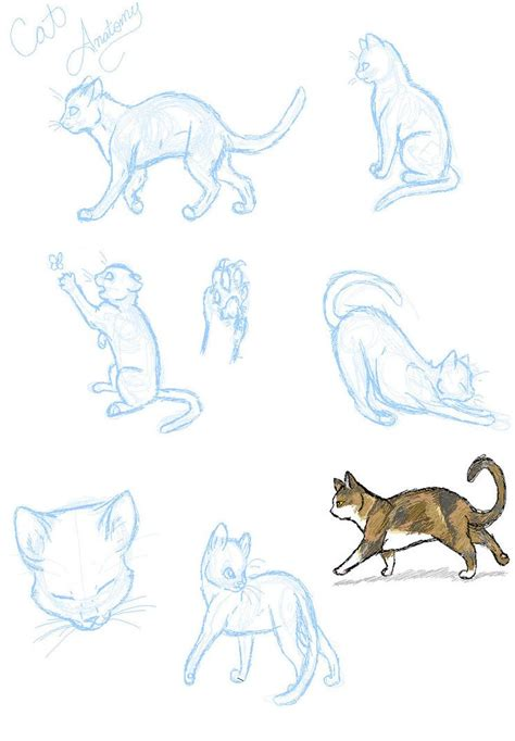 cat anatomy practice  sasoridanna  deviantart