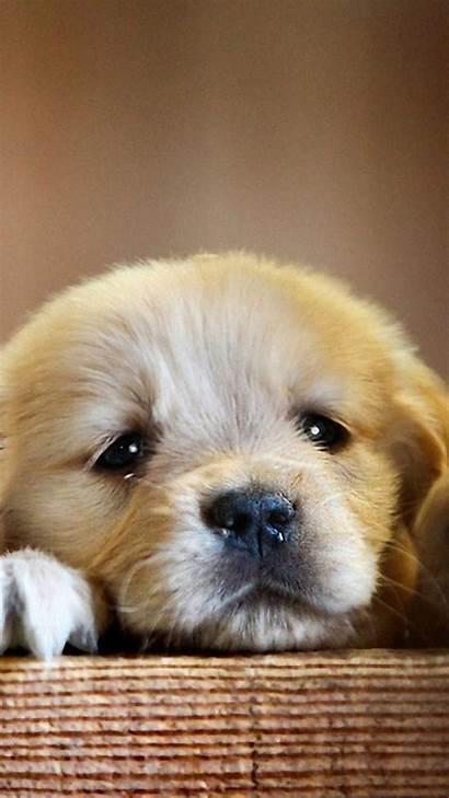 Puppy Retriever Golden Puppies Dog Paws Dogs