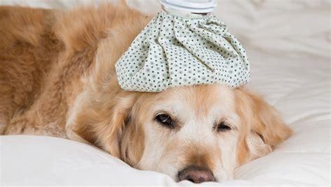 pneumonia  dogs symptoms   treatments dogtime