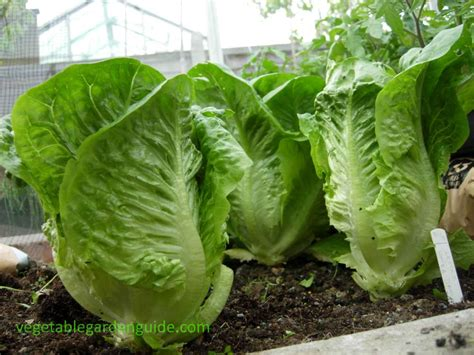 grow greens how to grow lettuce tips instructions and pictures for a tasty harvest