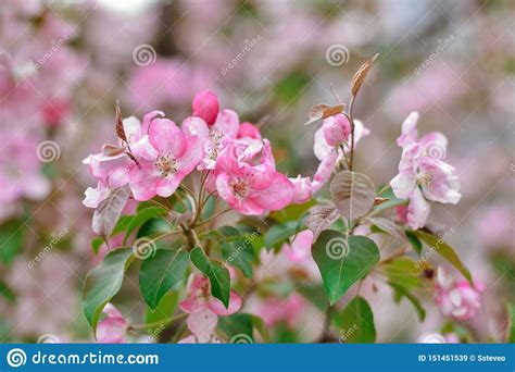 Sakura Pink Flowers Close Up Cherry Blossoms Stock Image