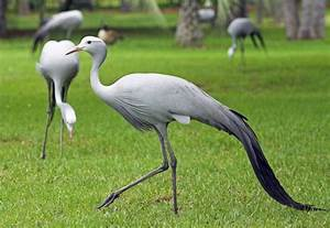 Blue Cranes massacred by farmer - All 4 Women