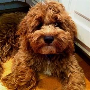 Best 25 Cocker Spaniel Poodle Mix Ideas On Pinterest