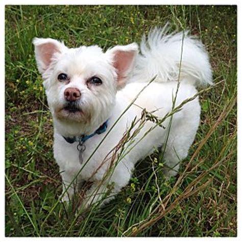 yoda adopted dog  huntsville al poodle