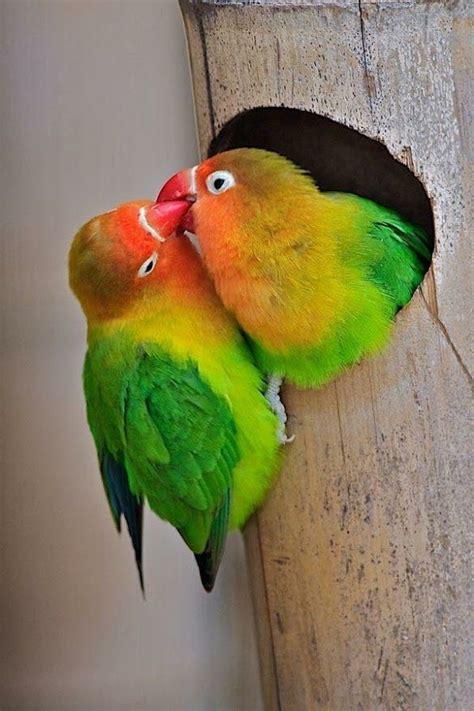 fischers lovebird couple sharing food beautiful birds