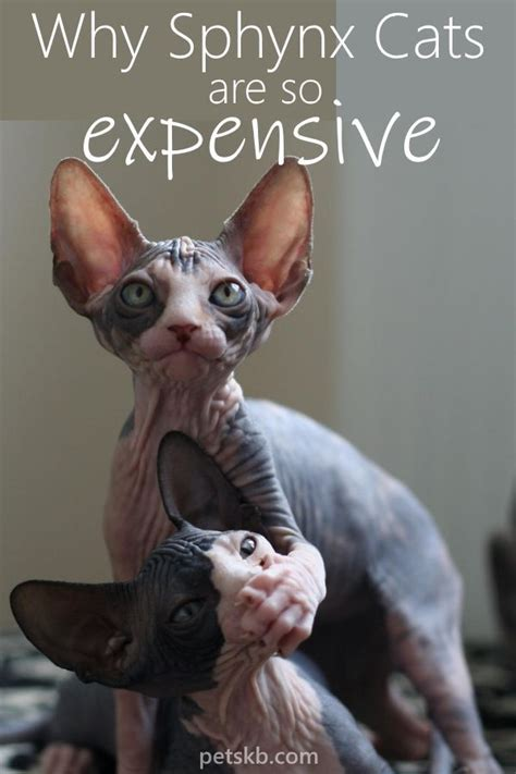sphynx cost cats why cat expensive pets kb much purebred