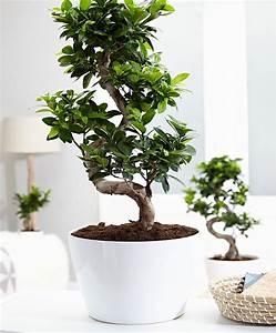 Bonsai Ficus Ginseng : koop nu kamerplant bonsai ficus xl inclusief sierpot 39 ginseng 39 ~ Buech-reservation.com Haus und Dekorationen