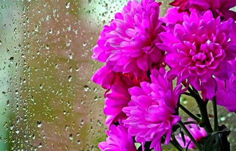 klasifikasi   ciri ciri bunga krisan gambar bunga