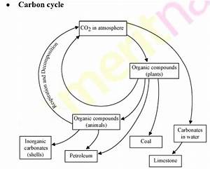 Explain The Carbon Cycle With The Help Of A Diagram - Science -