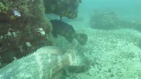 underwater goliath riviera grouper