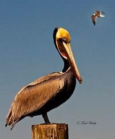Louisiana Brown Pelican Bird