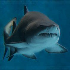 Sand Tiger Shark These Guys Are Favorite Tiburones