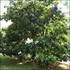 types of magnolia trees in florida crab apple trees are the only reason morris smells good in the spring all things wonderful and
