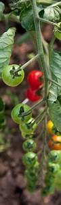 Tomaten Düngen Hausmittel : tomaten selbst anpflanzen der umfassende ratgeber ~ Whattoseeinmadrid.com Haus und Dekorationen