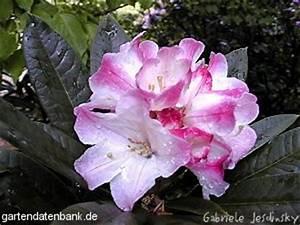 Wann Blüht Der Rhododendron : rhododendron wildarten rhododendron insigne schneiden pflege pflanzen bilder fotos garten ~ Eleganceandgraceweddings.com Haus und Dekorationen