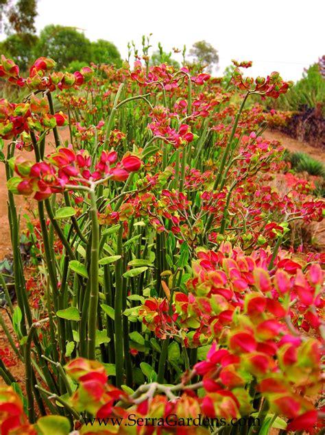 pedilanthus bracteatus    excellent succulent