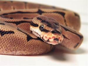 Ball Python Face | www.pixshark.com - Images Galleries ...