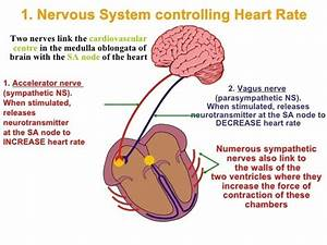 How Many Heartbeats Is Normal Per Minute  How Does Our Heart Produce Heart Beats And Why