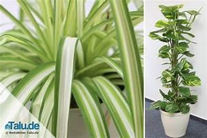 Blühende Zimmerpflanzen Pflegeleicht : pflegeleichte zimmerpflanzen 8 bl hende und gr npflanzen ~ Michelbontemps.com Haus und Dekorationen