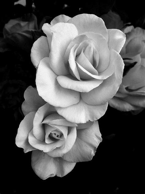roses black  white  images black  white