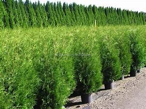 Wann Schneidet Man Thuja : wann pflanzen der beste pflanzzeitpunkt f r heckenpflanzen ~ Lizthompson.info Haus und Dekorationen