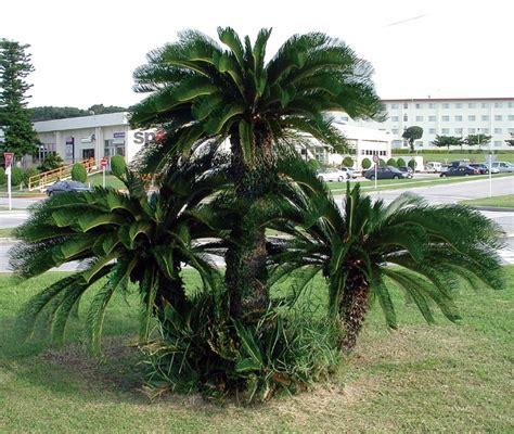 sago palm height growing sago palms how to grow a sago palm tree my decor home decoration
