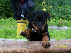 world39s most dangerous dog breeds o information madness With rottweiler dangerous dog