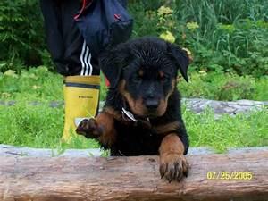 World39s most dangerous dog breeds o information madness for Rottweiler dangerous dog