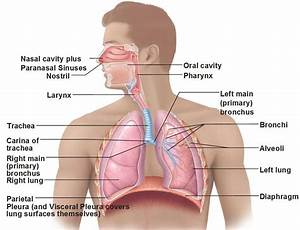 The Apex Of Lungs Diagram Labeled