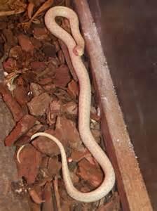 Albino Checkered Garter Snake